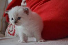 GR*AFRODITESDOLLS FELICIA  10 weeks old,Ragdoll kitten  Copyright © Sophia Skreki