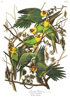 Carolina Parakeets were the only native parrot species in the U.S., until they went extinct 100 years ago.