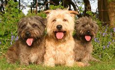 Irish Glen of Imaal Terriers