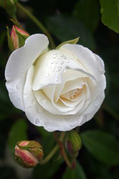 White Rose by Jenny Ross