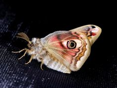 male emperor moth. my favorite kind of moth. i will soon have a tattoo based on these little guys.