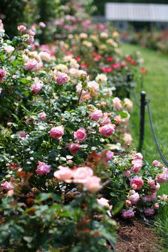... promised a rose garden!  {Cutting Rosebed for wedding celebrations!}