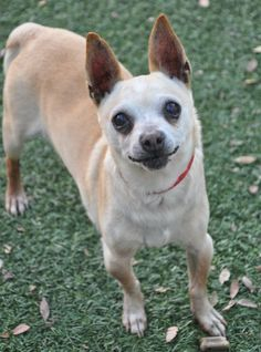 Dollar Chihuahua • Senior • Male • Small San Gabriel Valley Humane Society San Gabriel, CA Dollar is approximately 9 years old and weighs 9.4 pounds. He came to the shelter with Peso, and they seem to be good friends -- they currently share a kennel. Dollar is friendly with people and loves to go out on walks. He is not yet used to...