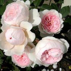 Rosa 'Geoff Hamilton')