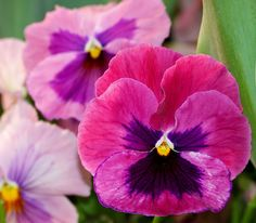Pansy Dance Inspiration | Pink Pansies by Caren Grant