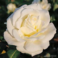 white on pinterest white roses hybrid tea roses and white tulips. Black Bedroom Furniture Sets. Home Design Ideas