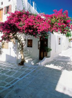 Bougainvillea growing outside a house, mykonos, greece