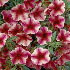 Callie Rose Star.   Latin Name: Calibrachoa 'Callie Rose Star.'  Zone 8-11