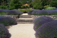 Mantanzas Creek Winery Lavander Field is a must see in early June when the flowers create a sea of purple.