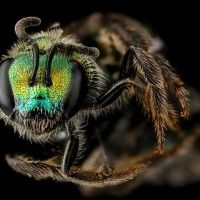Beyond Black and Yellow: The Stunning Colors of America's Native Bees - Wired Science