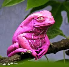 pink Tree frog from Worth1000, a Photoshopping site. This is a waxy monkey tree frog, and it was green before being Photoshopped.