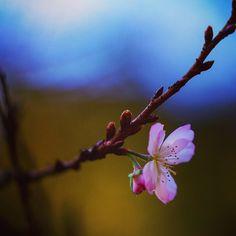 #Autumnalis #autumn #autumncolors #autumnleaves #nature  #冬桜 #紅葉