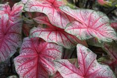 Glowing Heart- Caladium hybridized, developed and only available through Spaulding Bulb Farm.  Garden, gardening ideas, tropical plants, fairy gardens, urban gardening, container gardening. Caladium, caladium gardening, aroids, unique caladiums, caladium bulbs, landscaping, potted plants, potted caladiums, tropical perennial, elephant ears, artisan farm, florist, floral arrangements, floral design.