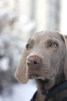 What a sweet Weimaraner who has some snow on his nose!