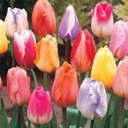 mixed pastel tulip- Michigan bulb (ordered 12)