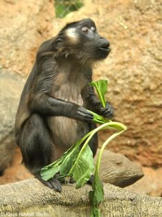 Makak nadwodny (Macaca siberu)