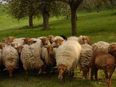 Coburg Fox Sheep