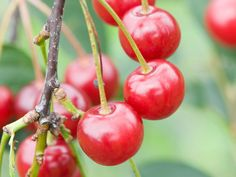 4 Fruit Trees Fit for Containers --> http://hgtvgardens.com/photos/trees-photos/fruit-trees-for-containers?soc=pinterest