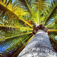 Coconut palm trees, Florida Florida Plants, Coconut Palm Tree, Tropical Plants, Palms, Palm Trees, Recipes, Ideas, Food, Las Palmas