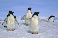 Adelie Penguin (Pygoscelis adeliae) group on ice, Ross Sea, Antarctica