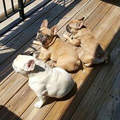 Sunbathing French Bulldogs ❤❤❤