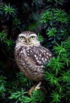 Burrowing owl. by Evey-Eyes.deviantart.com on @deviantART