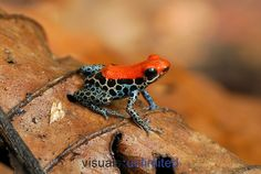Reticulated Poison Dart Frog (Ranitomeya reticulatus), Allpahuayo Mishana National Reserve, Iquitos, Peru
