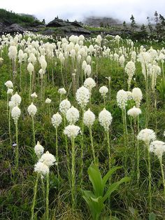 Xerophyllum tenax - Glacier National Park - Glacier National Park (U.S.) - Wikipedia, the free encyclopedia