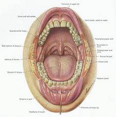 Anatomy Of Human Throat . Anatomy Of Human Throat Back Of The Throat Anatomy Human Anatomy Anatomy Of The Mouth Palate Throat Anatomy, Anatomy Back, Brain Anatomy, Human Body Anatomy, Head Anatomy, Human Anatomy Picture, Respiratory System Anatomy, Human Mouth, Mouth Piercings