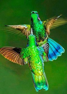 Green Violetear (Colibri thalassinus) by Myer Bornstein