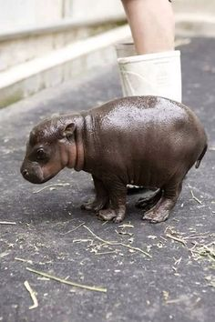 Funny pictures about Baby Pygmy Hippopotamus. Oh, and cool pics about Baby Pygmy Hippopotamus. Also, Baby Pygmy Hippopotamus photos. Cute Little Animals, Cute Funny Animals, Adorable Baby Animals, Baby Farm Animals, Animal Babies, Cutest Animals, Jungle Animals, Animal Pictures, Cute Pictures