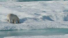 《國家地理》的攝影鏡頭捕抓到極罕見、毛骨悚然的一幕,一頭北極熊追逐、獵捕並吃掉幼熊。研究人員說,這在北極是很常發生的事,但很少人類直接目擊過。 這段拍攝於去年夏天加拿大巴芬島的影片中,幼熊的母親