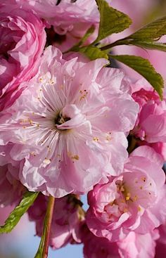 Flowering Almond bush, the whole bush is covered with these small pink ruffle flowers. Currently blooming in Provo. Needs full to partial sun. Just purchased this!!!