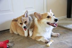 Gatsby and Scout of California: Big Brother, Little Sister! - The Daily Corgi Animals And Pets, Baby Animals, Cute Animals, Cute Dogs And Puppies, Doggies, Corgi Puppies, Piggy Back Ride, Corgi Pictures, Corgi Funny