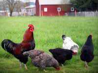 Raising Chickens 101 (see link at the bottom for the Chicken Learning Center for more articles/information)