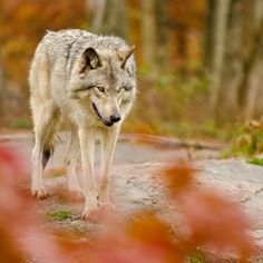 Autumn wolf - stock photo