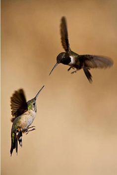 Hummingbirds jousting! amAZing to watch these flying jewels battle over the feeders... www.arizonasunshinetours.com Let's GO! #Birding #Arizona #touring