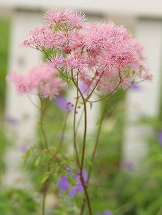 Meadow rue Get detailed growing information on this plant and hundreds more in BHG's Plant Encyclopedia.