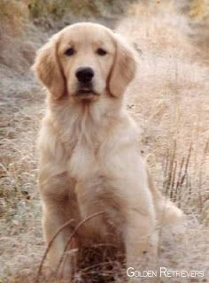 Golden Retriever Noble Loyal Companions With Images Golden
