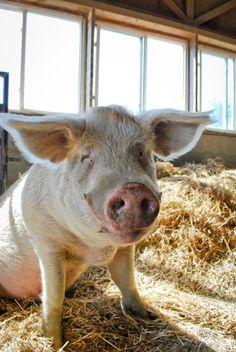 Farm Sanctuary: where a pig can be a pig
