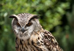 The eyes of an eagle owl are awesome [OC] [5472 x 3648]