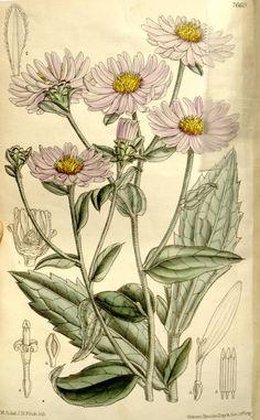v.125 [ser.3:v.55] (1899) - Curtis's botanical magazine. - Biodiversity Heritage Library