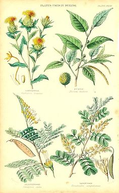 Antique print: picture of Plants used in dyeing - Safflower, Fustic, Brazil Wood, Logwood