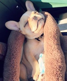 Gomi, the French Bulldog Puppy, is Happily Sun Bathing ☀️#MiamiLife #BabyGomi #ComfyGomi.