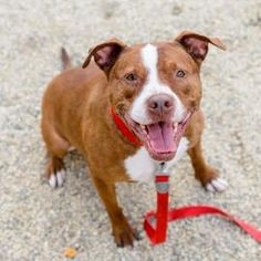 3 / 10   ***SENIOR***  Petango.com – Meet Bailey, a 7 years 5 months Terrier, Pit Bull / Mix available for adoption in SOUTH ELGIN, IL