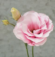 Mariachi Pink (F1) Pelleted Lisianthus
