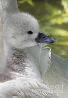 ☀Cygnet By Lyn Evans ** / bird watching Beautiful Swan, Beautiful Birds, Animals Beautiful, Swans, Chateau De Malmaison, Cygnus Olor, Photo Animaliere, Mundo Animal, All Gods Creatures