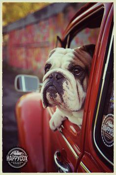 Helmut le bulldog anglais en VW 1302