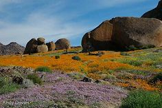 Namaqualand Trees To Plant, South Africa, Fields, Road Trip, Landscapes, Carpet, African, History, World