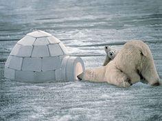 Osos en el polo Norte
